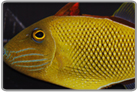 Crosshatch Triggerfish - Male